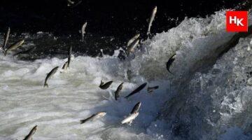 Uçan balıkların göçü görenleri büyüledi